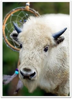 white buffalo calf woman spirit guide